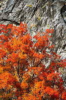 A brilliant maple explodes with color as it's surrounded by hard rock in Logan Canyon in Northern Utah.
