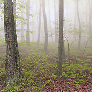 """Misty Woodlands""<br />