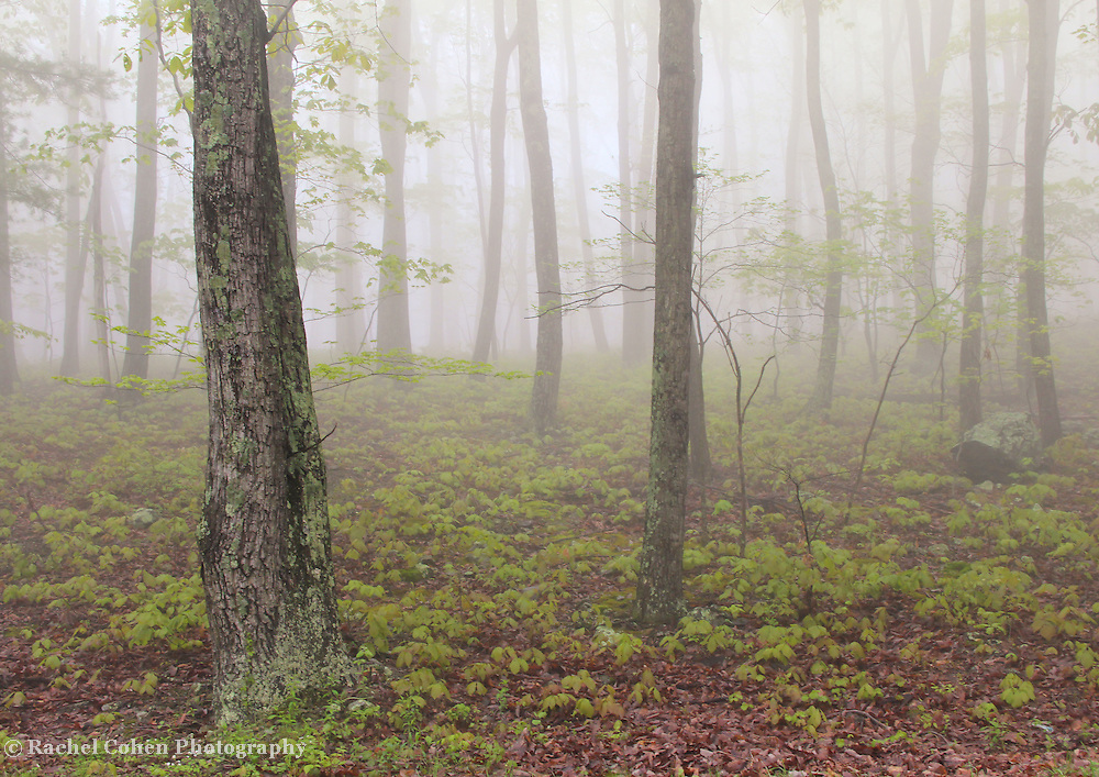 &quot;Misty Woodlands&quot;<br />