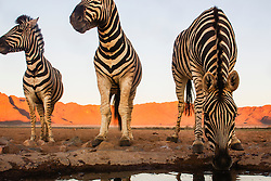 A wide angle close-up view of Burchell's zebras (Equus quagga) drinking from a water hole in the Namib Desert, Namib Desert, Namibia, Africa