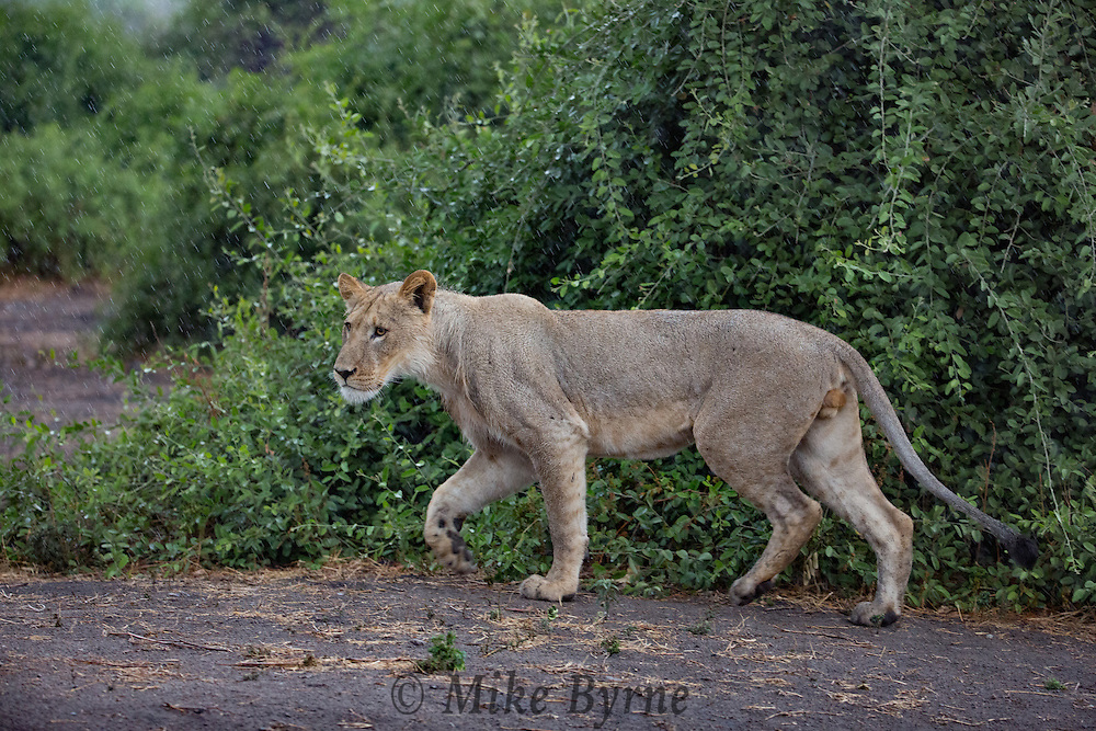 Lion in Chobe National Park, Botswana.