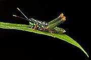 Grasshopper (Acrididae)<br /> Yasuni National Park, Amazon Rainforest<br /> ECUADOR. South America