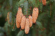 Closeup of Sitka Spruce (Picea sitchensis) cones and needles along Chilkoot River and Chilkoot Lake near Haines in Southeast Alaska. Winter. Afternoon