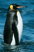 Emperor Penguin in water