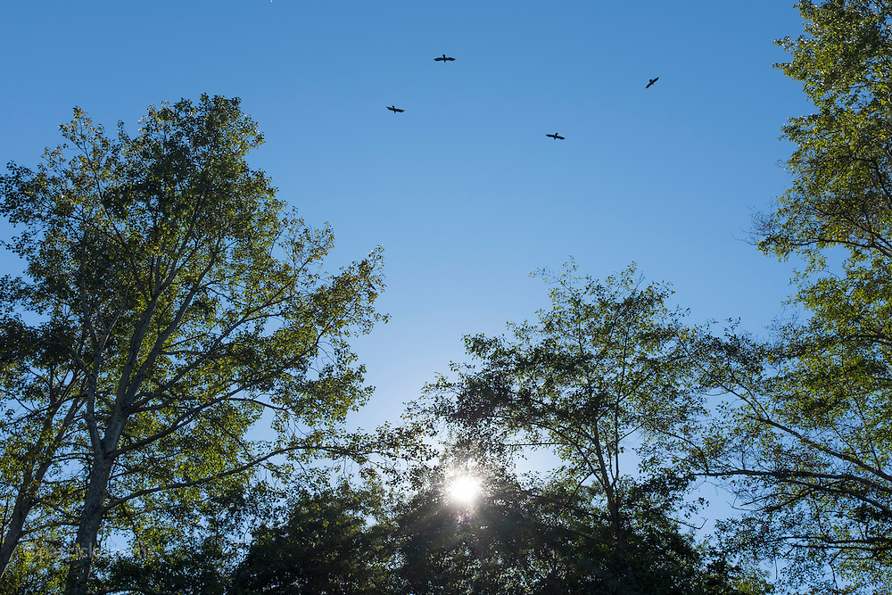 Crows soaring above the Dungeness River, on a summer day.