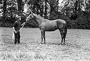 02/08/1967<br /> 08/02/1967<br /> 02 August 1967<br /> Horse at Allenwood, Lucan. Photo taken for Sir John Prichard-Jones (Baronet) of Allenwood House, Lucan,  Co. Dublin.