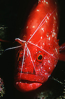 Mozambique Indian Ocean tomato rockcod (Cephalophlis sonnerati) being cleaned by cleaner shrimp (Lysmata amboinensis) close-up
