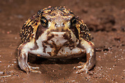 Bushveld rain frog (Breviceps aspersus adspersus)<br />