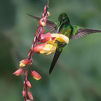 Heliodoxa imperatrix, Ecuador