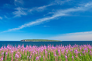 Fireweed wildflowers and Bonaventure Island in the Atlantic Ocean at the end of the Gaspe Peninsula. Parc national de l'Île-Bonaventure-et-du-Rocher-Percé. This is a provincial parc, not a true federal park.<br />