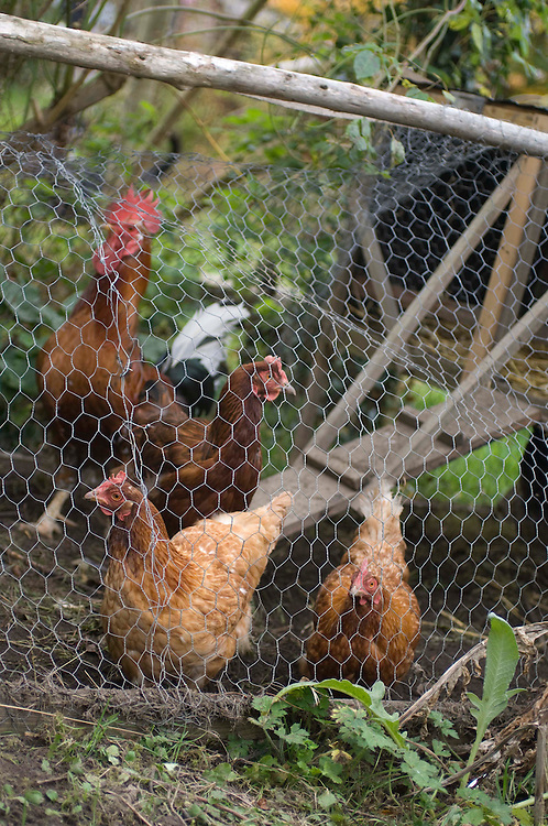 Brown organic chickens and rooster in a garden coop