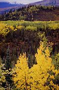 Fall color of Aspens in Denali N.P., Alaska