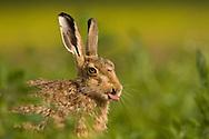 European Hare (Lepus europaeus) adult, amongst crop. Norfolk, England.