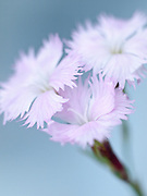 Dianthus petraeus subsp. orbelicus (Velen.)
