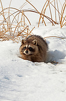 A Raccoon feeds on what looks like a bird it found dead or hurt winter and below freezing temperatures make it hard on all the animals.