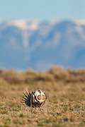 Sage Grouse Greater sage grouse on lek in Wyoming during spring