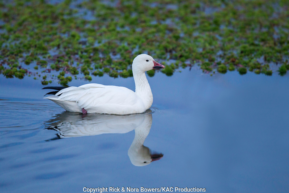 Snow Goose <br /> Chen caerulescens<br /> Bosque del Apache National Wildlife Refuge, New Mexico, United States<br /> 17 December    Adult light morph.     Anatidae