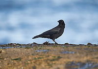 Northwestern Crow (Corvus caurinus) foraging among seaweed, Orlebar Point, Gabriola Island , British Columbia, Canada