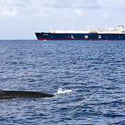 Some of the prime feeding areas for blue whales (Balaenoptera musculus brevicauda) in waters of Sri Lanka coincide with commercial shipping lanes that pass to the south of the country, which are among the most heavily trafficked in the world. This overlap of cetacean foraging territory and commercial shipping traffic creates the potential for lethal ship strikes.
