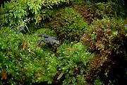 Alpine Newt (Triturus alpestris) male, Kiel, Germany | Diese Bergmolch-Männchen  (Triturus alpestris) hat im Frühsommer sein Laichgewässer verlassen. Tagsüber halten sich die Tiere nun an feuchten, kühlen Stellen - gerne in Moos und Laub - versteckt.
