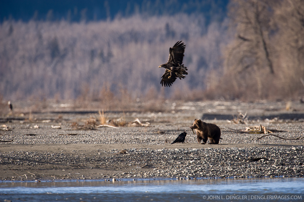 One of two orphaned yearling bear cubs feeds on a salmon while a raven and juvenile bald eagle look on. The cubs lost their mother on Nov. 6, 2010  when she was illegally shot in the Alaska Chilkat Bald Eagle Preserve.