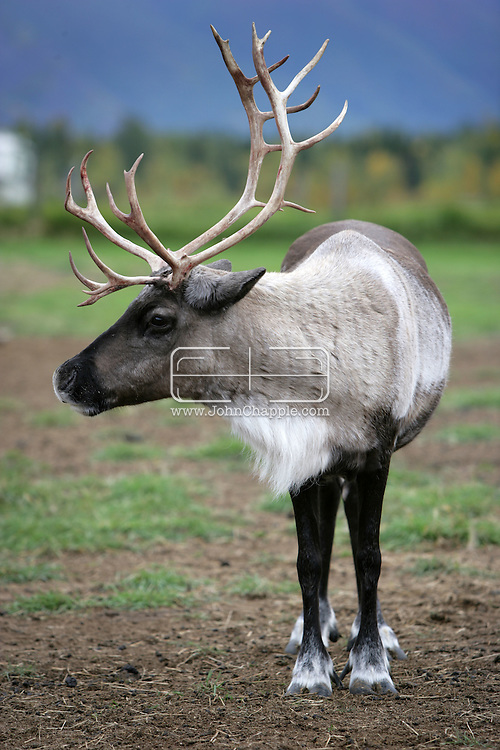 11th September 2008, Wasilla, Alaska. A reindeer near the home of US Republican Vice Presidential pick Sarah Palin in Alaska. PHOTO © JOHN CHAPPLE / REBEL IMAGES.tel: +1-310-570-910