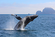 Humpback Whale breaching from the Pacific Ocean, Kenai Fjords National Park, Alaska