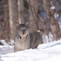 Alaskan Lynx on a trail in the snow.