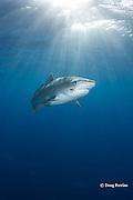 tiger shark, Galeocerdo cuvier, with parasitic leech, Stibarobdella macrothela, on right cheek, North Shore, Oahu, Hawaii, USA ( Central Pacific Ocean )