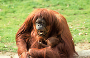 Sumatran orangutan (Pongo abelii or Pongo pygmaeus abelii) mother with infant In a zoo