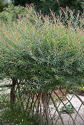Salix purpurea 'Nancy Saunders' trained as hedge
