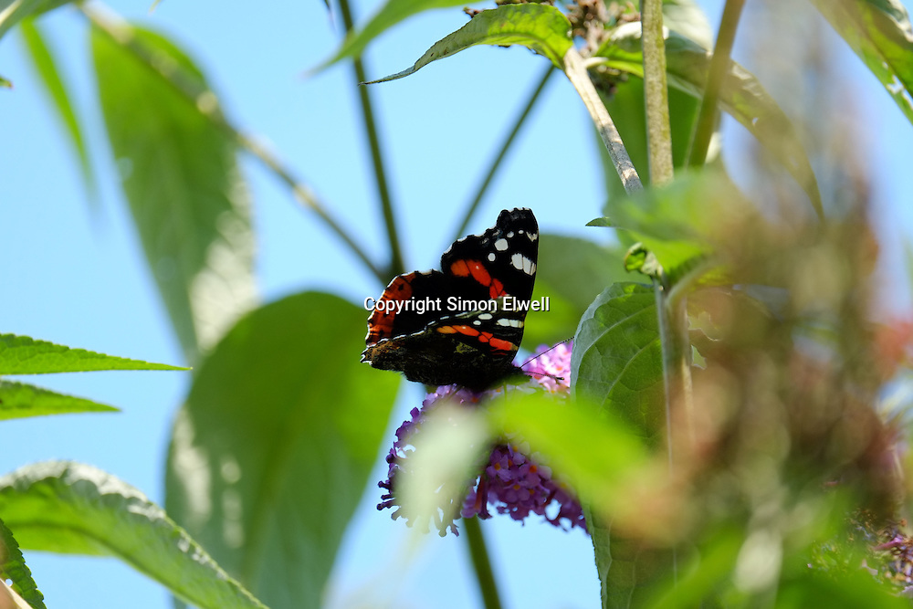 Red Admiral Butterfly on a buddleia bush in England - August 2013
