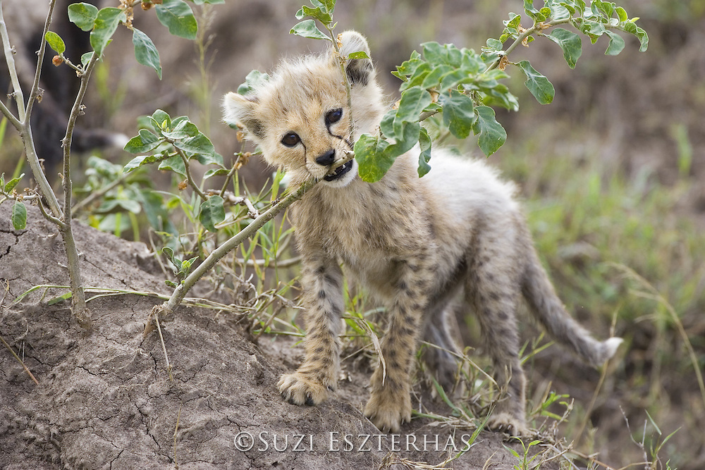 Cheetah<br /> Acinonyx jubatus<br /> 8 week old cub(s) chewing on acacia branch<br /> Maasai Mara Reserve, Kenya