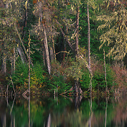 Dying trees around a pond created by beaver, Mitkof Island, Southeast Alaska, USA.<br />