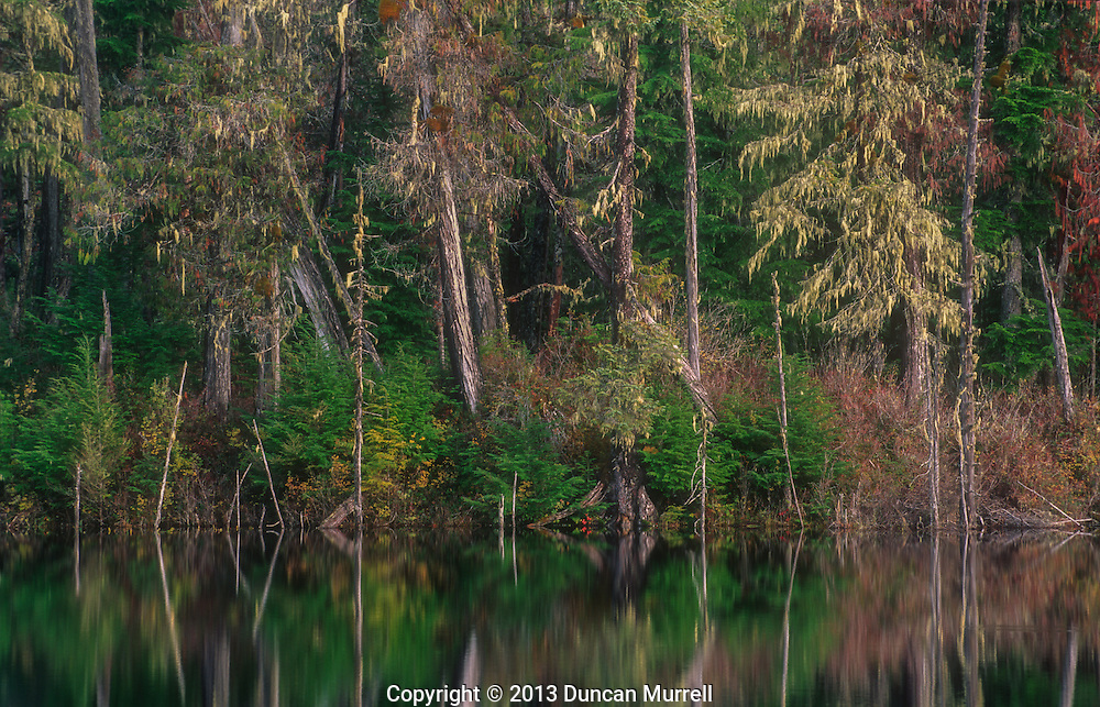 Dying trees around a pond created by beaver, Mitkof Island, Southeast Alaska, USA.<br /> Beaver can completely transform a forested landscape. They can create new habitats that can be exploited by other animals.