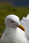 Herring Gull, Larus argentatus, Slea Head, Dingle Peninsula, Co. Kerry, Ireland