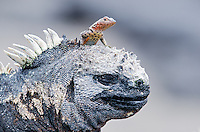 A lava lizard on a Marine iguana, Amblyrhynchus cristatus at Punta Espinoza on Fernandina Island in the Galapagos Islands National Park and Marine Reserve, Ecuador.