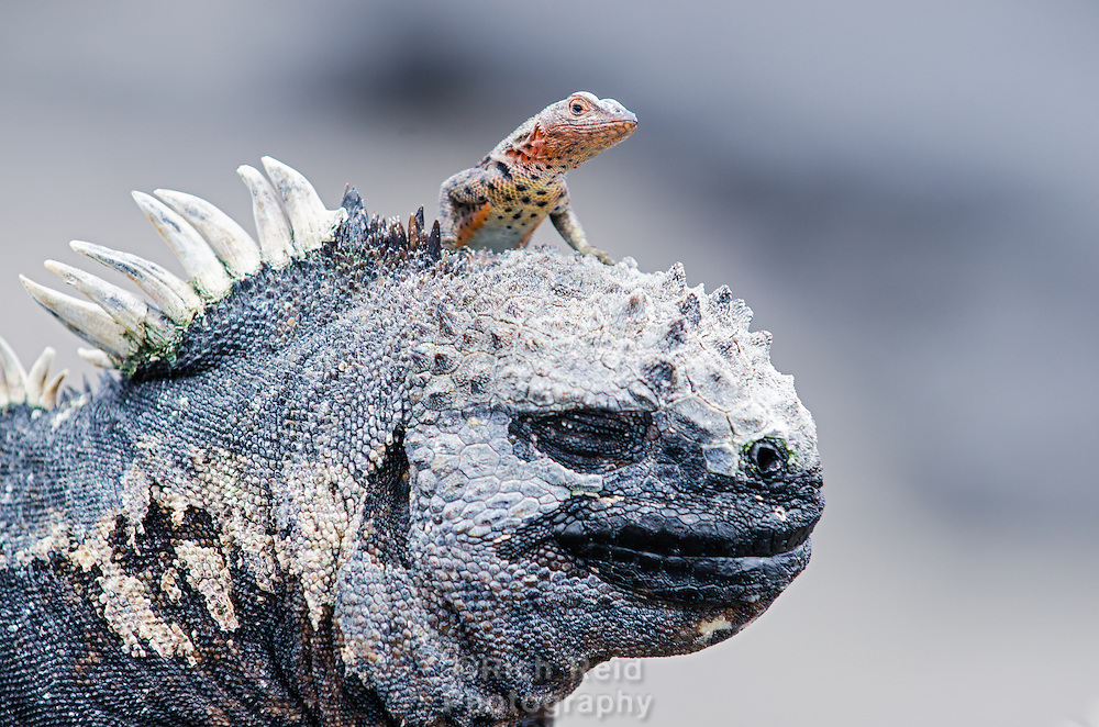 A lava lizard on a Marine iguana, Amblyrhynchus cristatus at Punta Espinoza on Fernandina Island in the Galapagos Islands National Park and Marine Reserve, Ecuador.