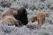 Wildlife: Bison, Cow and Calf