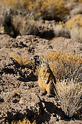 Vizcacha (Lagidium peruanum) Incahuasi island, at the centre of the salt desert of Salar de Uyuni