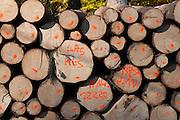 gefällte Baumstämme, Sächsische Schweiz, Elbsandsteingebirge, Sachsen, Deutschland | wood, Saechsische Schweiz, Saxon Switzerland, Saxony, Germany