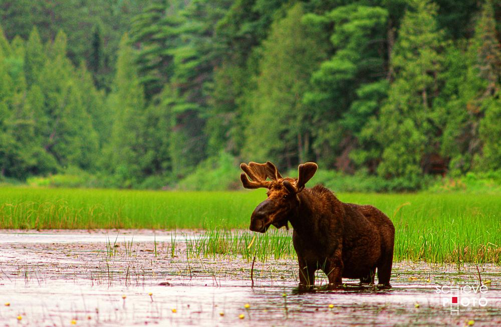 A grazing moose in Quetico Provincial Park, Canada.