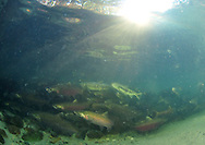 Coho Salmon (with Chum Salmon)<br /> <br /> Paul Vecsei/Engbretson Underwater Photography