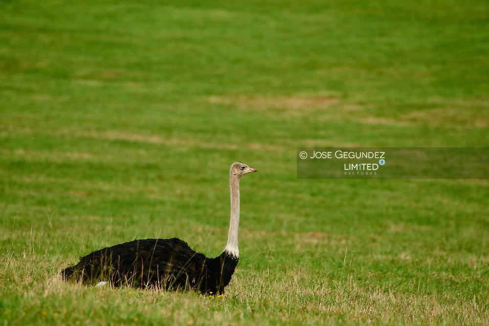 Ostrich On Grassy Field