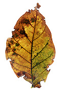 color changing and disintegrating leaf
