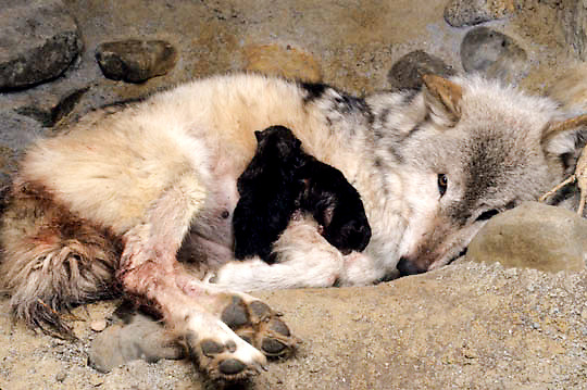 Gray Wolf, (Canis lupus) Adult in den with newborn pups, giving birth. Spring. Montana.  Captive Animal.