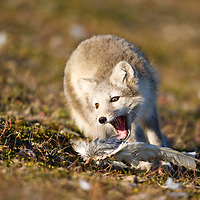 Norway, Svalbard, Edgeoya Island, Arctic Fox (Vulpes lagopus) playing with feathers on tundra along Diskobukta