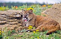 Mountain lion (Felis concolor)  Lives in all forested ecosystems.  But prefers rocky canyons and foothills.