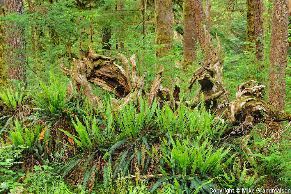Ferns and old tree in Old growth temperate rain forest<br /> Carmanah-Walbran Provincial Park<br /> British Columbia<br /> Canada