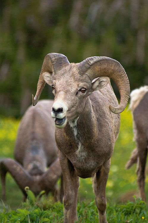Bighorn Sheep; Logan Pass, Glacier National Park, Montana.